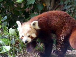 Panda červená (Firefox)